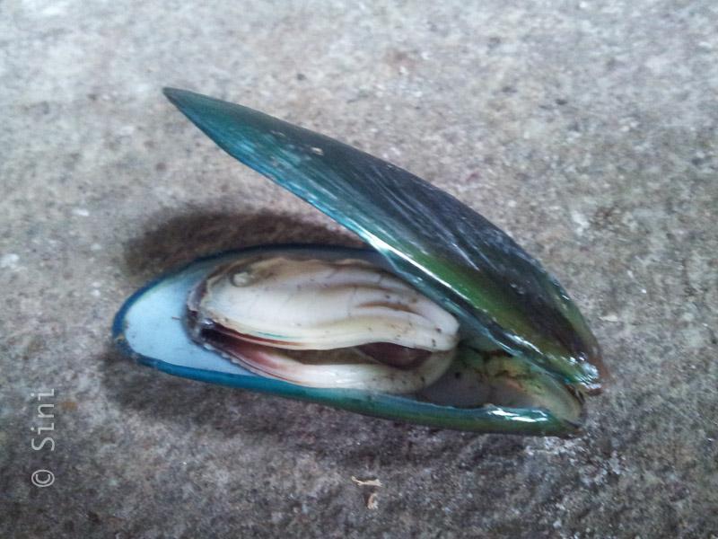 Kallummakkaya/Mussel